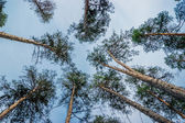 Pine forest view from bottom — Stock Photo