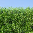 Green bushes — Stock Photo #37830409