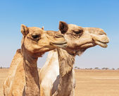 Camels in the desert — Stock Photo