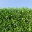 Green bushes — Stock Photo #38477743