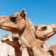Stock Photo: Camels in the desert