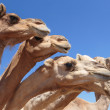 Camels in the desert — Stock Photo #40482269