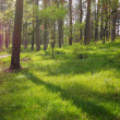 Pine forest — Stock Photo #41669017