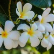 White and yellow frangipani flowers — Stock Photo #47892653