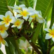 White and yellow frangipani flowers — Stock Photo #48269803