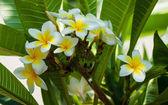 White and yellow frangipani flowers — Stock Photo