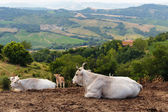 Herd of cows Tuscany — Stock Photo