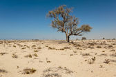 Lonely dead tree in the desert — Stock Photo