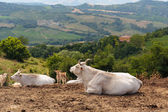 Herd of cows in Tuscany — Stock Photo