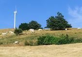 Vacas pastando en el pasto en toscana italia — Foto de Stock