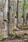 Rubber trees  At South Thailand — Zdjęcie stockowe