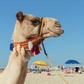 Camel on the beach in Dubai Marina — Foto de Stock