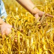 Stock Photo: Hands holding plants of wheat