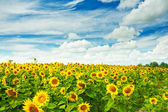 Field of sunflovewrs — Stock Photo