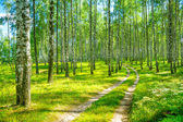 In birch forest — Stock Photo
