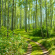 Road in birch forest - Foto Stock