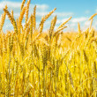Stock Photo: Wheat close up