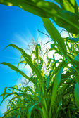 Plants of corn close up — Stock Photo