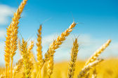 Plants of wheat before harvesting — Stock Photo