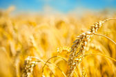 Ripe golden wheat — Stock Photo