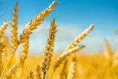 Tops of wheat — Stock Photo