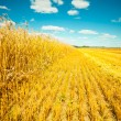 Stock Photo: Wheat field at harvesting