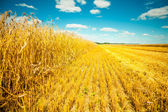 Wheat field at harvesting — Stock Photo