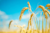 Plants of wheat — 图库照片