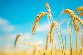 Rostliny pšenice — Stock fotografie