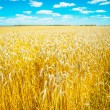 Stock Photo: Wheat field before harvesting