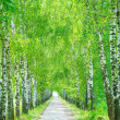 Stock Photo: Birch alley