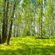 Birch forest at summer - Stock Photo