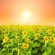 Sunflower field at sunrise - Stock Photo