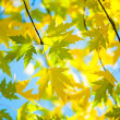 图库照片: Green and yellow leafage