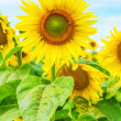 Close up view on sunflower on field - Stock Photo