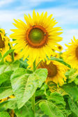 Close up view on sunflower on field — Stock Photo