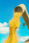 Corns of wheat pouring from pipe — Stock Photo