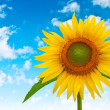 Sunflower on a background of blue cloudy sky — Stock Photo