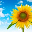 Sunflower on a background of blue cloudy sky — Stock Photo #36604579