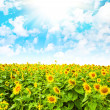 Sunflower field and cloudy sky — Stock Photo