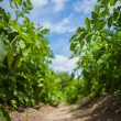 Stock Photo: In rows of potatoes plants