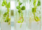 Plants of potato in lab tubes — Stock Photo