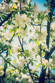 View on blossoming apple tree flowers — Stock Photo