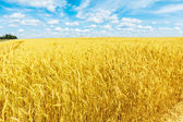 Wheat field and cloudy heaven — Stock Photo