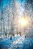 Floresta de vidoeiro de inverno — Fotografia Stock