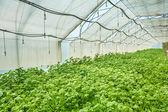 Growing potato — Stock Photo