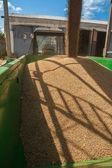 Wheat corns — Stock Photo