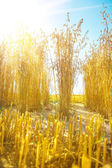 View on plants of oat — Stock Photo