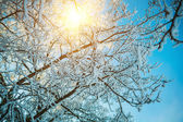 Snowed tree and translucent sun — Stock Photo