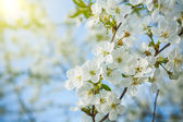 Branch of cherry tree — Stock Photo